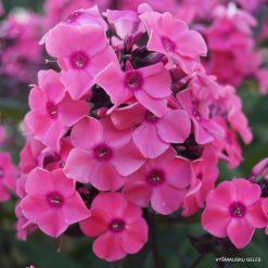 Phlox 'Sweet Summer Dream'