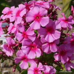 Phlox paniculata 'Dorffreude' (5)