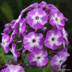 Phlox paniculata 'Eclaireur'