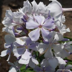 Phlox paniculata 'Nebesa'