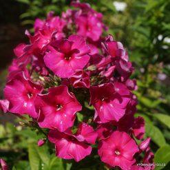 Phlox paniculata 'Nelli'
