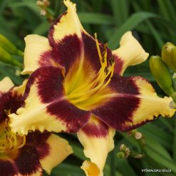 daylily  'Jamaican Me Crazy'