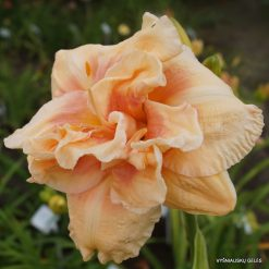 daylily 'Big Kiss'