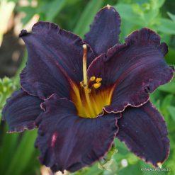 daylily 'Black Fury'