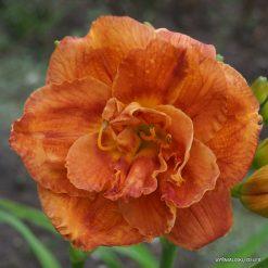 daylily 'Bobo Anne'