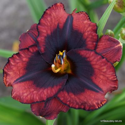 daylily 'Broadway Last Mohican'