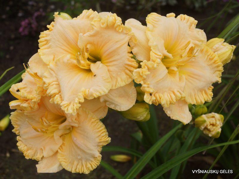 daylily 'Brookgreen Plantation' (2)