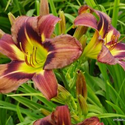 daylily 'Brown Witch' (3)