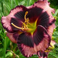 daylily 'Circus Performer'