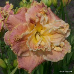 daylily 'Coronation Dream'