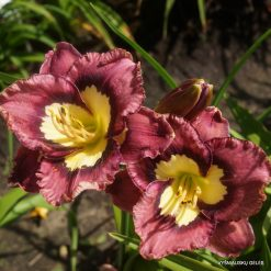 daylily 'Eclat Spectral'