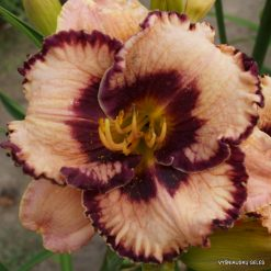 daylily 'Exotic Treasure'
