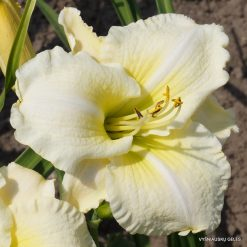 daylily 'Flutter of Angels'