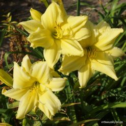 daylily 'Fours are Wild'