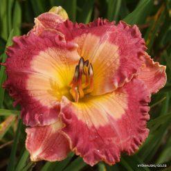 daylily 'Fuchsia Sunrise'
