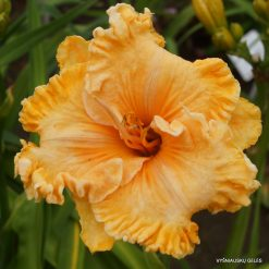 daylily 'Glowing Glamour'