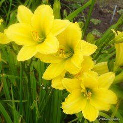daylily 'Green Flutter'