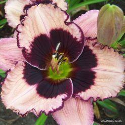 daylily 'Jane Trimer'