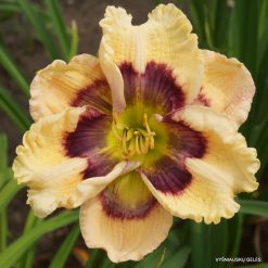 daylily 'Kaleidoscope Queen'