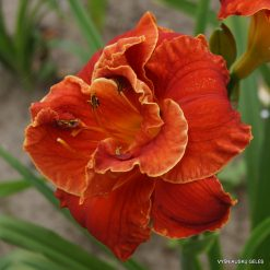 daylily 'Libby Gallion'
