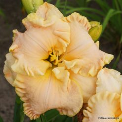daylily 'Linda's Magic'