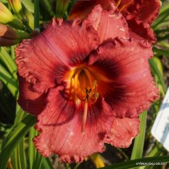 daylily 'Little Brandon'