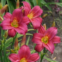 daylily 'Little Business'