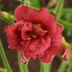 daylily 'Little Orphan Annie'