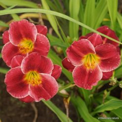 daylily 'Little William'