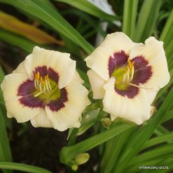 daylily 'Little Wizard'