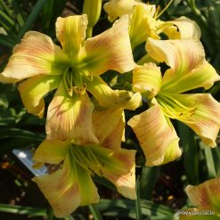 daylily 'Magic of Oz'