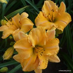 daylily 'MeMe's Garden Party'