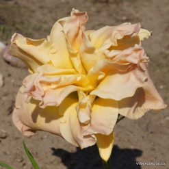 daylily 'Meringue Mirage'