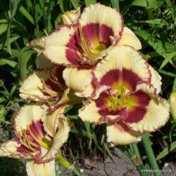 daylily 'Midsummer Eyes'