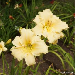 daylily 'Nature Girl'