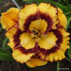 daylily 'New Paradigm'