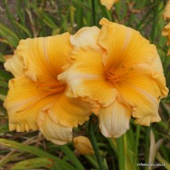 daylily 'Orange Velvet'
