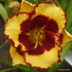 daylily 'Paco Bell'