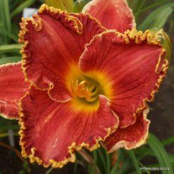 daylily P (2)