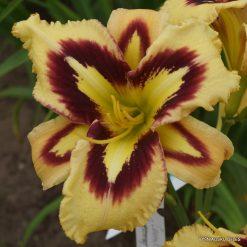 daylily ro-sc