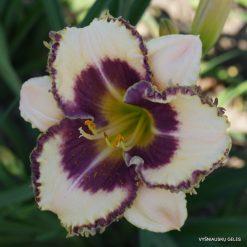 daylily 'San Isidro' (3)