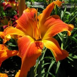 daylily 'Screamcicle'