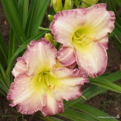 daylily 'Seal of Approval'