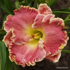 daylily 'Shores of Time'