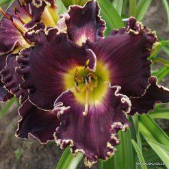 daylily S (2)