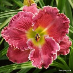 daylily 'Song Writer'