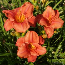 daylily 'South Seas'