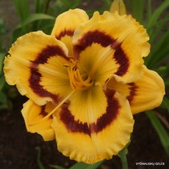 daylily 'Terry Lyninger'
