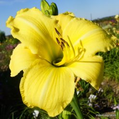daylily 'The Space Race'