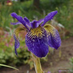 iris 'Ellebank Lacewing'